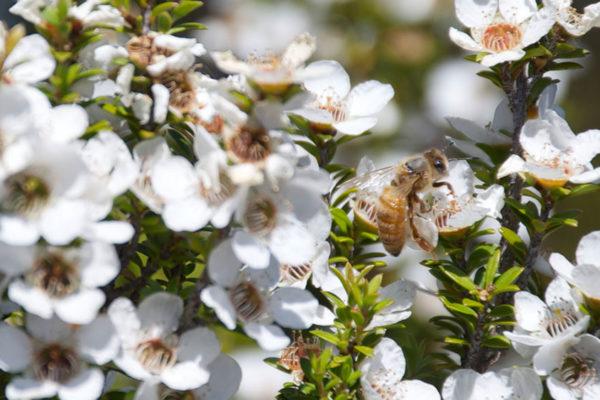 Miel de Manuka: ¿El mejor antibiótico natural?